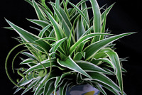 Chlorophytum Comosum Seeds Home Flowers Garden Bonsai Pots 50 Pcs