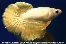 Gold Dragon female Halfmoon Tropical betta fish #B045/ 3.5 mo/body size 1.5''