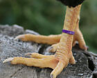 50 PURPLE Numbered Poultry Zband Leg Bands ~Fits Chickens,Geese,Ducks