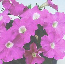 50 Pelleted Seeds Logro Pink Petunia Seeds Large Flowers