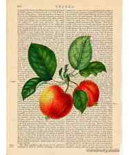 Red Apples Art Print on Antique Book Page Vintage Illustration Garden Fruits
