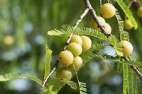 ** AMLABAUM die Früchte werden in der Heilkunde als Stärkungsmittel genutzt.