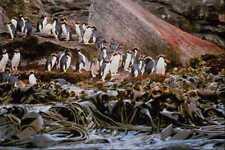 541059 Snares Island Penguins A4 Photo Print