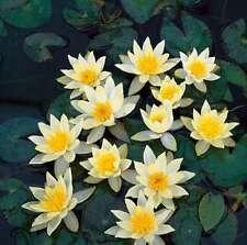 Nymphaea Helvola Live Hardy Yellow Dwarf Water Lily Tuber Rhizome BUY2GET1FREE*
