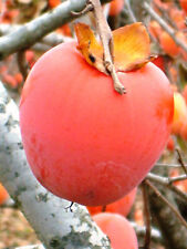 Japanese Persimmon Seeds Deciduous Tree Frost Hardy Sweet Large Edible Fruit