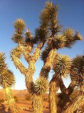 Joshua Tree Seeds ( Yucca Brevifolia ) - 10 seeds