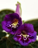 Mini Sinningia SIMSIM ROYAL STYLE tuber African Violet kin