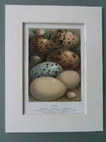 """ANTIQUE BIRDS EGGS PRINT DATED 1898   NATURAL HISTORY   MOUNT 7""""x9"""""""