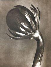 1942 FOTO ORIGINALE STAMPA ROTOCALCO PIASTRA 91. Karl Blossfeldt astratto botanico