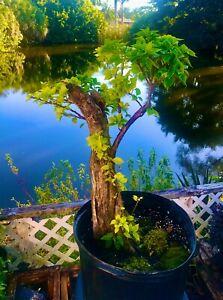 "Bonsai Style Pre-bonsai Bougainvillea Tree 25 Years 6 +"" Trunk  indoor /Outdoor"