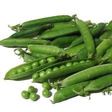 PEA Novella (Leafless Pea) Seeds (V 559)