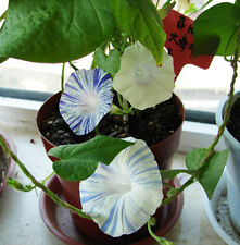 Morning Glory Seed 20 Seeds Pharbitis Phoebe Hybrida Flower Garden Seed Hot A125