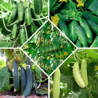 Seeds Cucumber Super Harvest Set (5 packs) Early Giant Vegetable Organic Non GMO