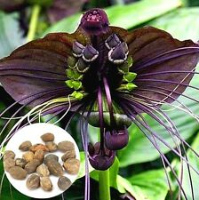 FD4208 Bat Tacca Chantrieri Cat Whiskers Flower Seeds Garden Bonsai Plant 10PC