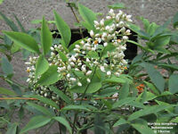 Garten Pflanzen Samen winterharte Zierpflanze Saatgut Staude HEILIGER BAMBUS