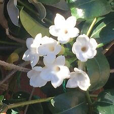 35 SEEDS - 2018 harvest STEPHANOTIS FLORIBUNDA-Wedding Plant-Madagascar Jasmine