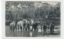 SACRED ELEPHANTS BELONGING TO THE KANDY TEMPLE: Ceylon postcard (C27838)