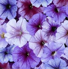 Petunia Seeds Freedom Vein Mix 50 P