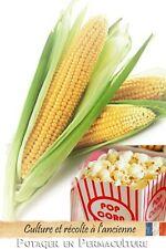 Maïs Pop Corn à éclater (Plomyk) - 30 Graines méthode Bio à semer - Zea Mays