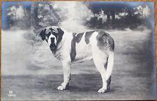 St./Saint Bernard Dog 1910 Realphoto Postcard, Studio-Shot #1
