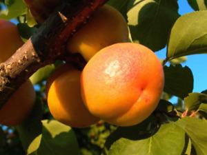 Prunus armeniaca 5 fresh seeds. Apricot from Uzbekistan
