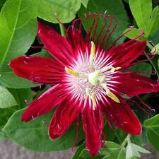 Lady Margaret Red Passion Flower Plant - Passiflora Lady Margaret