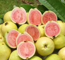 10seeds/Lot Balcony patio potted fruit trees planted seeds Psidium seeds Guava