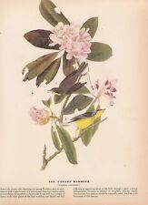 """1942 Vintage AUDUBON BIRDS #103 """"CANADA WARBLER"""" Color Art Plate Lithograph"""