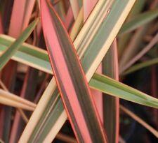 Phormium tenax Flamingo in 9cm pot