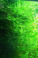 Peacock Moss 5 Qty Moss Live Freshwater Aquatic Plants shrimp Co2 Regulator