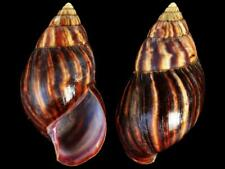 Achatina immaculata - Shells from all over the World NEW!!!