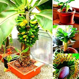 Baby dwarf banana bonsai banana plant fresh bonsai seeds rare banana type banana