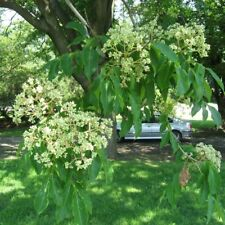 Bee Tree Evodia Hupehensis 25,50,100,200 Seeds
