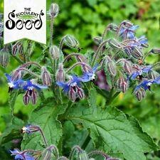 BORAGE -  (100 Seeds) ATTRACTS BEES, Medicinal Herb BULK Starflower