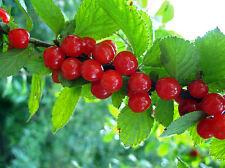 5 graines de RAGOUMINIER(Prunus Tomentosa)H386 NANKING CHERRY SEEDS SAMEN SEMI