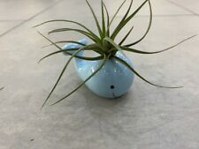 Tillandsiart-Airplant Planter-whale blue small (Air Plant Not Included)