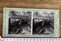 ALLIGATOR Antique B&W LONDON STEREOSCOPIC COMPANY Zoological Gardens Stereoview