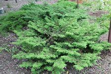 Siberian juniper (Juniperus sibirica) 30 seeds