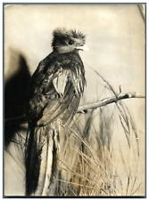 Oiseau sacré du Mexique  Vintage silver print Tirage argentique  13x18  Ci
