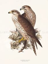 PAINTING BIRDS GOULD LEAR LANNER FALCON PAIR ART PRINT POSTER LAH546A