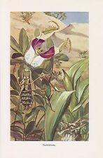 Teufelsblume Große Teufelsblume (Idolomantis diabolica) Insekt Farbdruck 1915