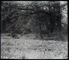 Glass Magic Lantern Slide TREE STUDY NO11 C1910 WOODS WOODLAND PHOTO