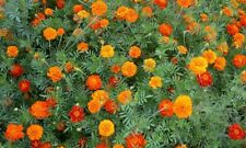 300+ Flowed Seed Mix lot, Cosmos Marigold Zinnia Sunflower Spider Plant Cilantro