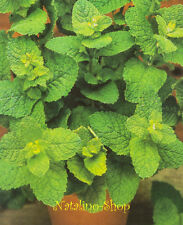 Pfefferminze 200+ Samen *Tee-& Heilpflanze *Mentha × piperita *Mehrjährige Minze