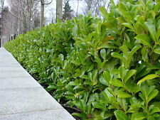 120 Cherry Laurel Fast Growing Evergreen Hedging Plants 20-40cm in Pots