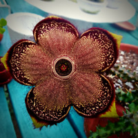 ***1 Cuttings***Edithcolea Grandis/ Rare Succulents/ Persian Carpet