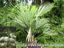 Trachycarpus fortunei, Naini valle, palma se encuentra, 100 semillas