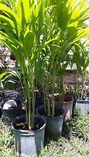"""triple adonidia merrelli Palm Tree 3 """" feet tall"""