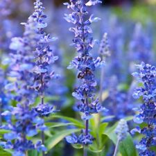 BLUE HYSSOP HERB SEEDS, Attracts Butterflies Bees, Medicinal Anti-viral