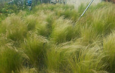 Stipa tenuissima 30 Fresh Seeds Nassella Mexican Feather Grass Ornamental Hardy